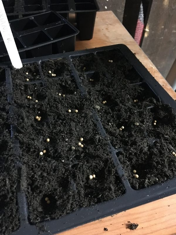 Winter sowing coriander, mutli sowing option