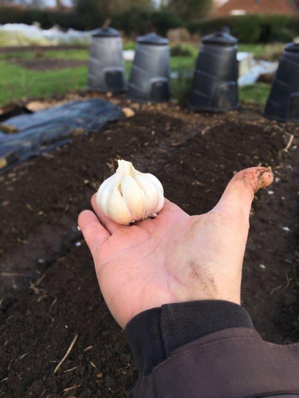 garlic bulb in palm of hand