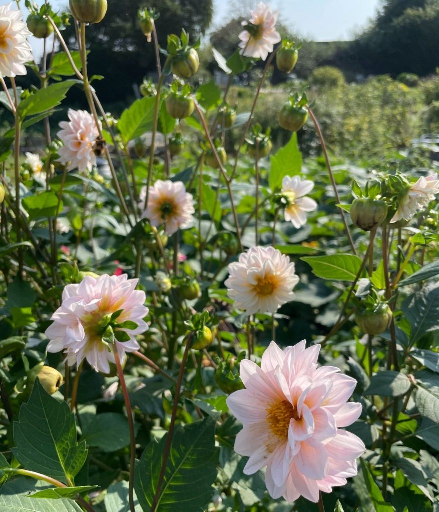 Pink dahlias raised from seed